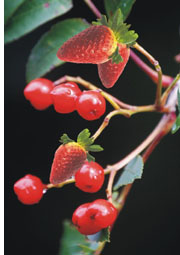plant with strawberry and cherry