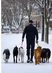 dog walker with six dogs