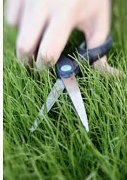 Cutting Lawn With Scissors